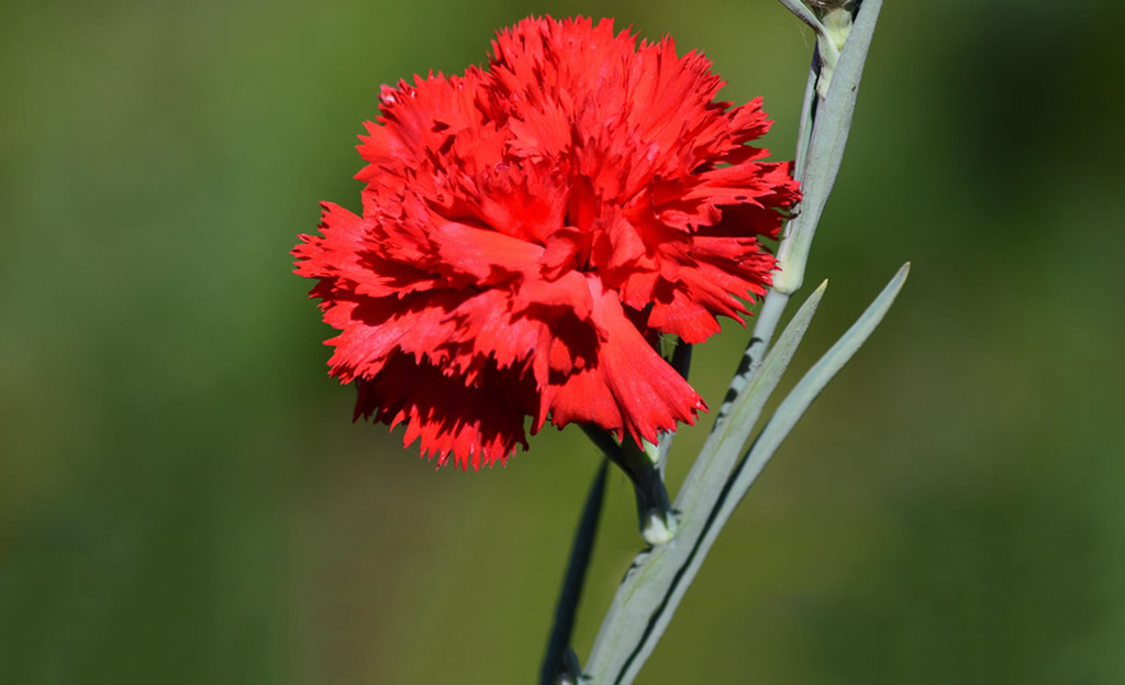 The meaning of flowers carnation flower delivery in nairobi the meaning of flowers carnation mightylinksfo